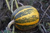 Fresh, ripe, pumpkins growing in field