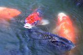 Japanese Carp ( Koi Fish )