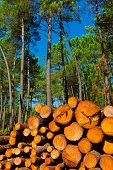picture of afforestation  - The Big Logging in the Forest Portugal - JPG