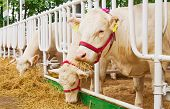 stock photo of feedlot  - cows feeding in large cowshed close up - JPG