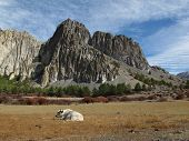 Resting yak and limestone formation