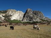 stock photo of yaks  - Limestone formations and grazing yaks in Nepal - JPG