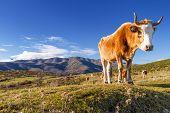 Corsican Cow At Col De San Colombano