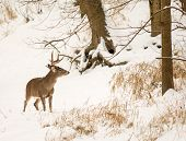 stock photo of buck  - Photo of a beautiful white tailed deer buck in a snowy winter scene.