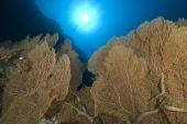 pic of molly  - Giant sea fan colony  - JPG