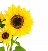 foto of sunflower  - Flowers sunflower with green leaf - JPG