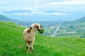 Sheep on the picturesque landscape background