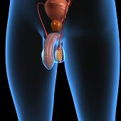 stock photo of testis  - The human male reproductive system consists of a number of sex organs that form a part of the human reproductive process - JPG
