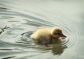 Little Mallard Duckling