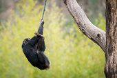 Swinging Chimp