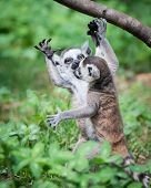Baby Ring-tailed Lemurs
