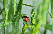 foto of wander  - wandering after stalk of green grass ladybug - JPG