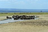 stock photo of cape buffalo  - Cape Buffalo in Lake Nakuru National Park in Kenya