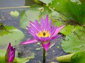 Purple lotus flower on water surface