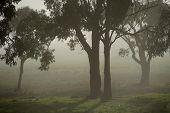 Gumtrees In The Fog