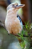 image of blue winged kookaburra  - A close up shot of an Australian Kookaburra