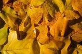 Background Of Bright Yellow Wet Tuliptree Leaves