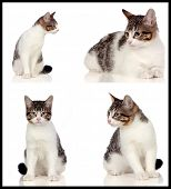 Collage of a beautiful grey cat isolated on a white background