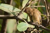 Female Red-billed Firefinch (lagonosticta Senegala) Mimicking Scary A Vulture