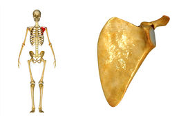 picture of shoulder-blade  - In anatomy - JPG
