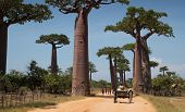 MADAGASCAR- DECEMBER 8, 2013. Children play on the road among baobab trees.