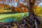 Brilliant Fall Foliage on the Guadalupe River in Texas with Gnarly Roots