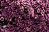 Violet Chrysanthemum