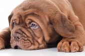 picture of dogue de bordeaux  - cute puppy  - JPG