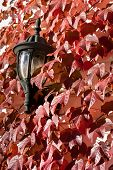 Outdoor Light Surrounded By Red Ivy