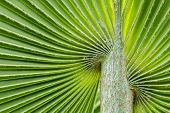 pic of veer  - Soft patterned palm leaves used as a background - JPG