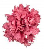 Crimson Petunia Isolated On White Background