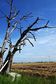Dried Tree In The Paddy Field