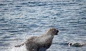 Labrador Runs Into Ocean Surf