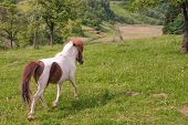 Pony Running On A Meadow In The Countryside