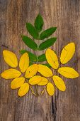 Yellow And Green  Leaves Of Rowan Lying On A Rough Wooden Board