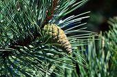 foto of pinus  - Pinus mugo  - JPG