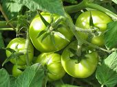Green Tomatoes On Branch. Growing Tomatoes In Garden