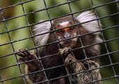 stock photo of marmosets  - The common marmoset monkey looking nature daytime alone - JPG