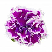 Petunia Isolated On Whit