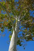 California Sycamore Tree