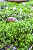 stock photo of bolete  - A small bay bolete hiding in mosses - JPG