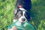 foto of collie  - young border collie puppie pulling frisbee at the park - JPG