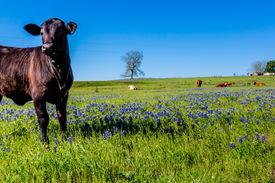 stock photo of bluebonnets  - Texas Cattle with Bluebonnets in a Cow Pasture - JPG