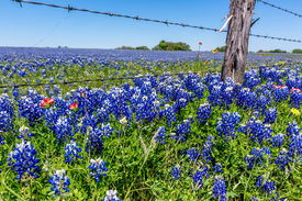 pic of wildflowers  - A Wide Angle View of a Beautiful Field Blanketed with the Famous Texas Bluebonnet  - JPG
