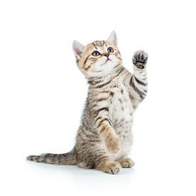 picture of furry animal  - cute playful kitten cat isolated on white - JPG