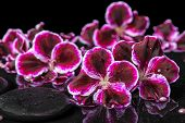 stock photo of geranium  - beautiful spa still life of geranium flower beads and black zen stones with drops in reflection water closeup - JPG