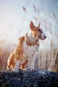 stock photo of bulls  - The dog of breed a bull terrier in a checkered scarf sits on a stone - JPG