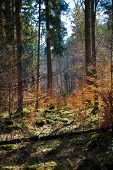 stock photo of conifers  - Mixed forest with conifers and deciduous trees in autumn or spring. ** Note: Shallow depth of field - JPG