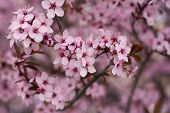 picture of cherry  - Close up of wild cherry flowers blossom - JPG