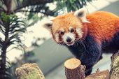 image of panda  - Portrait of a Red Panda - JPG